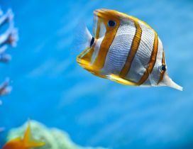 A beautiful fish with stripes of gold
