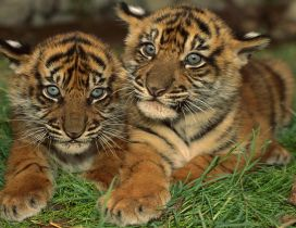 Two sweet young tigers on green grass