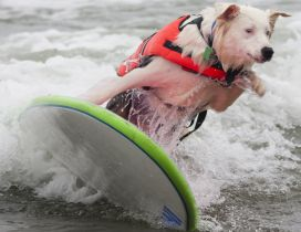 A cute white dog with jacket surfing on sea