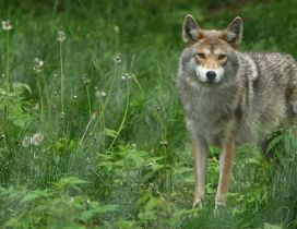 Lonely gray and brown wolf in the green grass