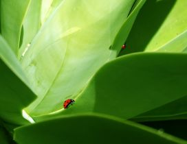 Red ladybugs on the big green leaves