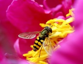 Bee collects pollen from a pink flower