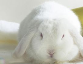 Cute white bunny - The clean animal