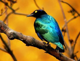 Beautiful blue and black bird on a branch