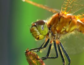 An orange dragonfly - Insect wallpaper