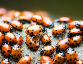 A lot of orange ladybugs - Insects wallpaper