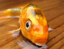 Golden fish out of water - HD wallpaper