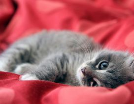 Gray kitten in a red bed - Sweet kitten wallpaper