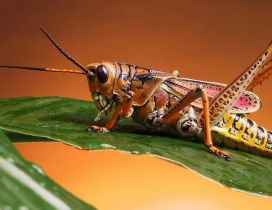 Beautiful colored locust insect on a green leaf