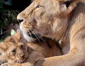 Lioness and her sweet cub - Wild animals family