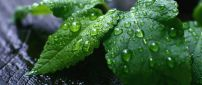 Green mint leaves with water drops