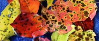 Colorful leaves with brown stains - Autumn wallpaper