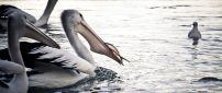 Feeding time for pelicans - Birds on water