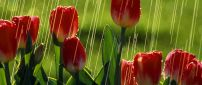 Red tulips under the rain - Flowers wallpaper