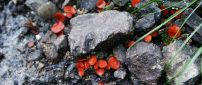 Many red mushrooms between stones