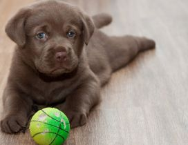 A cute brown Labrador on floor with his toy