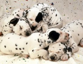 Sweet dreams little dalmatian puppies