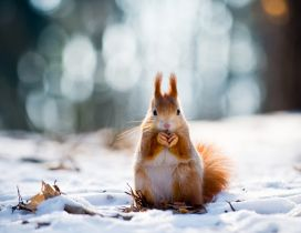 Sweet little squirrel in the snow - Winter wallpaper