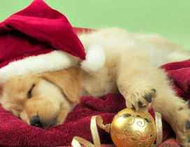 Sweet little Golden Retriever dog with Christmas hat