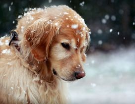Beautiful Golden Retriever dog - snowflakes