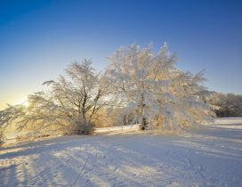 Winter sun under the white trees full with snow
