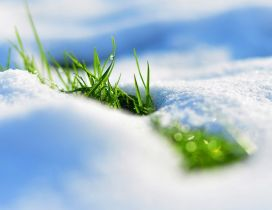 The nature revives - fresh green grass in the snow