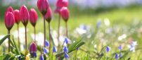Pink tulips on the field full with flowers - Spring season