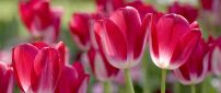 Tulips red with white - beautiful spring flowers