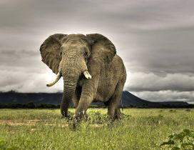 Elephant runing in the jungle- HD wild animal wallpaper