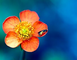 Little insect on a beautiful spring flower - macro wallpaper