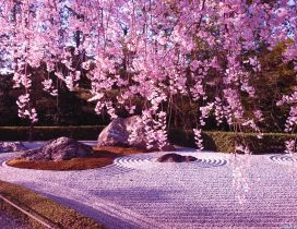 Cherry tree blossom - wonderful carpet of spring flowers