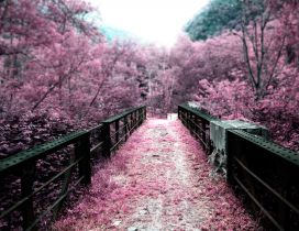 Pink path through the park - blossom trees
