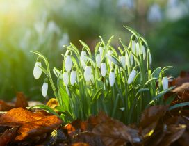 Bouquet of snowdrops - good morning spring sunshine
