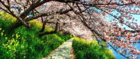 Path under the blossom trees - HD spring wallpaper