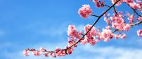 Branch of tree full with blossom flowers - blue sky