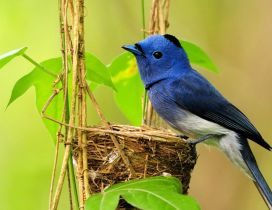 Blue bird make his own nest - HD wallpaper