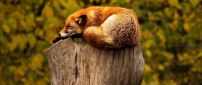 Wild fox sleep on a bunch of tree