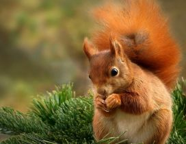 Red squirrel eat nuts - Sweet little wild animal