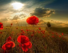 Sunshine over the field with poppy flowers
