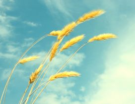 Golden wheat in the wind - HD wallpaper