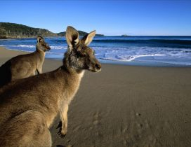 Two big kangaroo at the seaside - HD wallpaper