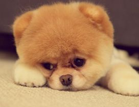 Cute dog face - HD fluffy wallpaper