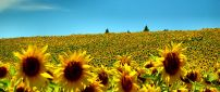 Field full with sunflowers - Beautiful summer time