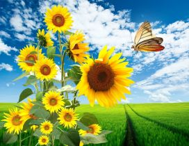 Big sunflowers and a beautiful butterfly - HD wallpaper