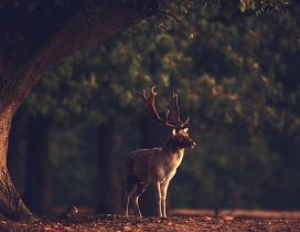Professional photo with a deer in the forest - HD wallpaper