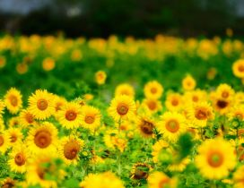 Yellow field full with sunflowers