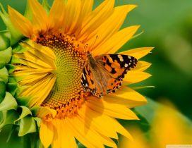 Big butterfly on a sunflower - HD wallpaper