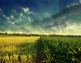 Wheat and corn field - wonderful nature wallpaper