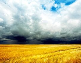 Wheat field in a summer day - the storm is coming
