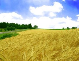 Golden wheat field toppled by wind - HD wallpaper